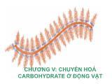 Bài giảng hoá sinh động vật - Chương V: Chuyển hoá Carbohydrate ở động vật
